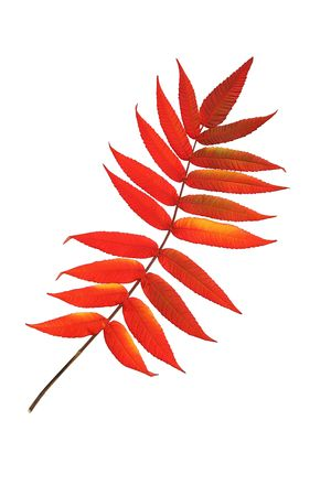 european rowan: Rowan leaf in Autumn against a white background. (Sorbus Embley, known for its flaming scarlet color in Autumn.)