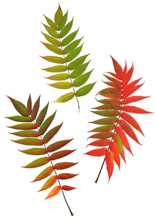 european rowan: Three rowan leaves in the colors of  autumn, set against a white background.