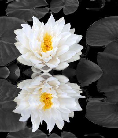 Abstract of a white water lily with yellow stamens in full flower in a pond in summer with reflection.  (Gladstoniana genus). Background is desaturated. Stock Photo - 3111710