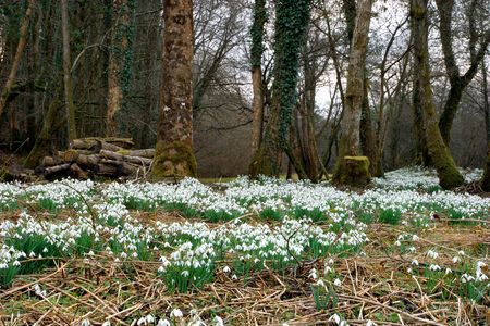 snowdrop: White snowdrops in flower in early Spring in an ancient forest. Stock Photo