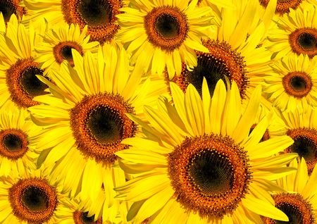 Sunflowers in full bloom in summer forming a background. Stock Photo - 3142368