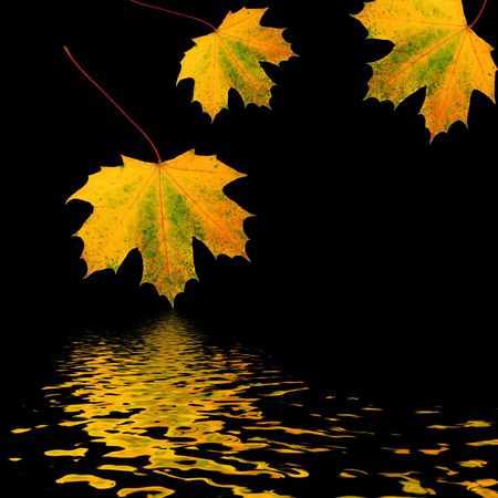 Abstract of three golden maple leaves in autumn reflected in water and set against a black background. Stock Photo - 3142364