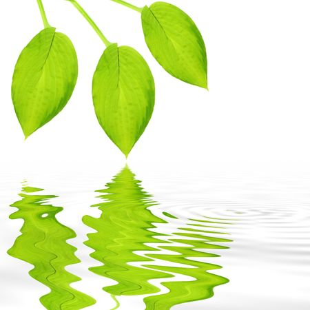Three hosta leaves reflected over rippled gray water and set against a white background.