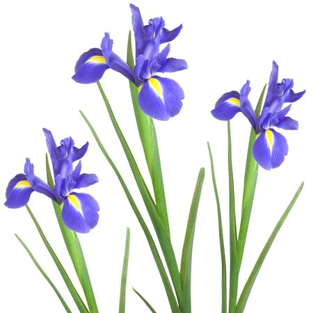 Three blue iris isolated against a white background.