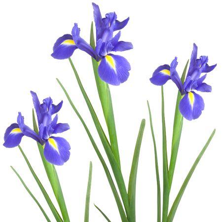 isolated irises: Three blue iris isolated against a white background.