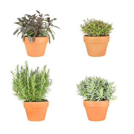 saliva: Organic rosemary, lavender, purple sage and silver thyme herbs growing in terracotta pots and set against a white background.