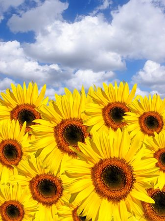 Sunflowers in summer set against a blue sky and alto cumulus clouds. photo
