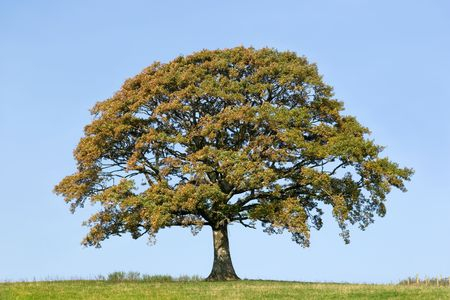 solitary tree: Oak tree in a field in early autumn with grass to the foreground and set against a clear blue sky.