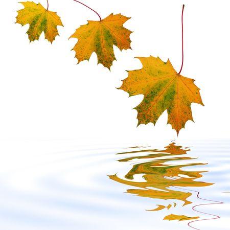 ciclos: Resumen de un per�odo de tres hojas de arce con los colores de oto�o se refleja m�s suavemente rippled agua. Set sobre un fondo blanco.  Foto de archivo