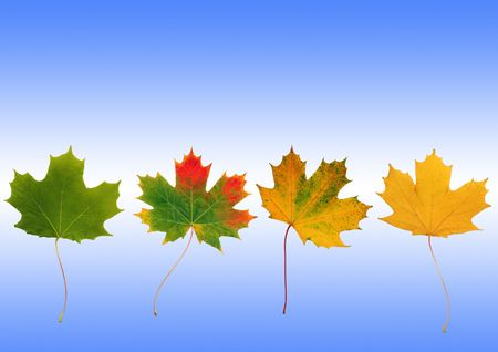 Abstract  line of maple leaves with the colors progressing from summer to  autumn shades. Set against a sky blue background with a white horizontal glow. Stock Photo - 3324999