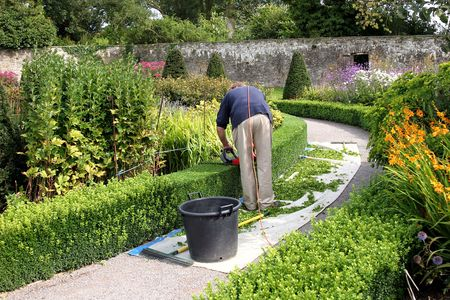 Curved hedge being cut by a man holding a red electric cutter in a walled garden full of flowers and plants in summer.