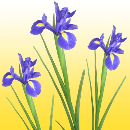 Three blue iris isolated against a golden yellow background. photo