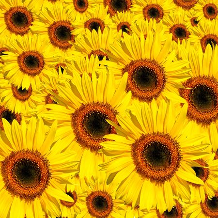 Sunflowers in full bloom in summer forming a background. Stock Photo - 3487610