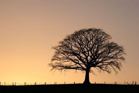 Oak tree in winter at sunset in silhouette against a golden sky.