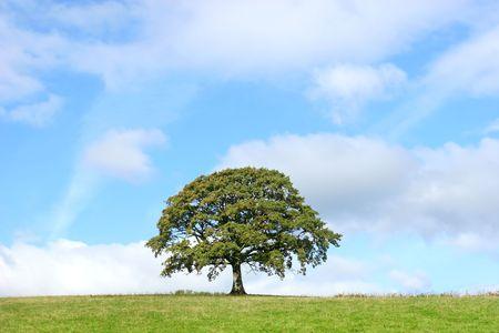 Oak tree in a field in summer set against a blue sky with alto cumulus clouds. Stock Photo - 3561243