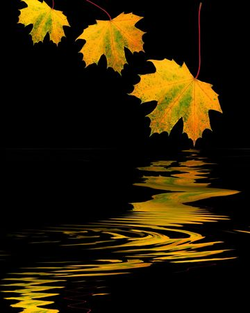 three leaf: Abstract design of three maple leaves in golden colors of Autumn with reflection over rippled water, over black background.