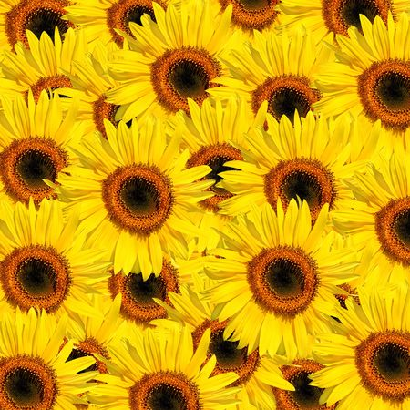 Sunflowers in full bloom in summer forming a background. Stock Photo - 3594460