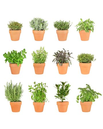 Herb plant selection growing in terracotta pots. Rosemary,  mint,  bay,  parsley, basil, oregano, purple sage, golden thyme, silver thyme, lavender, garden thyme, variegated sage. Over white background.