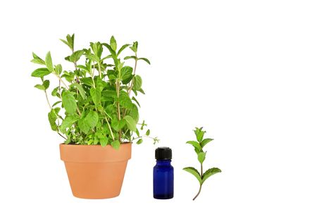 Organic herb mint growing in a terracotta pot with a specimen sprig to the right hand side and an aromatherapy essential oil blue glass bottle. Set against a white background.  photo