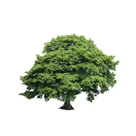 プラタナス: 夏季には白い背景に対して設定完全葉でシカモア ツリー。