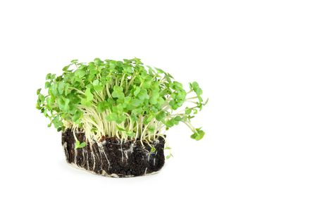 Fresh growing mustard and cress over white background. photo