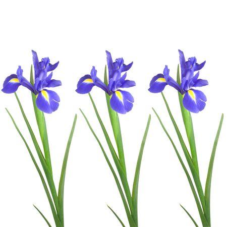 Three blue iris flowers over white background. Stock Photo - 3658029