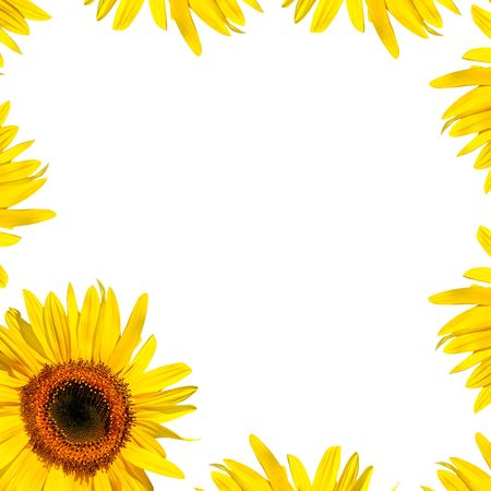 full frame: Sunflower in full bloom and yellow petals creating a border around the edge of the frame. Over white background.