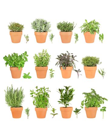 Large herb plant selection growing in terracotta pots with leaf sprigs. Rosemary, mint, bay, parsley, basil, oregano, purple sage, golden thyme, silver thyme, lavender, common thyme, variegated sage. Over white background.  Stock Photo