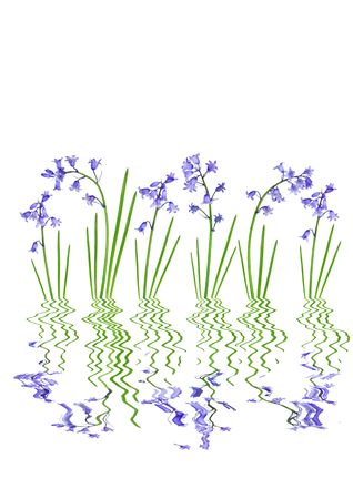 Bluebell flower abstract with reflection over water, with white background. Stock Photo - 3689659