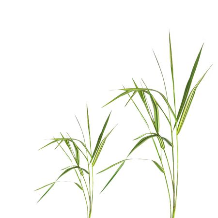 Abstract of bamboo leaf grass isolated over white background.