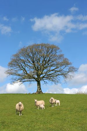 spring lambs: Oak tree in spring with sheep and lambs grazing in a field with a blue sky and clouds to the rear.