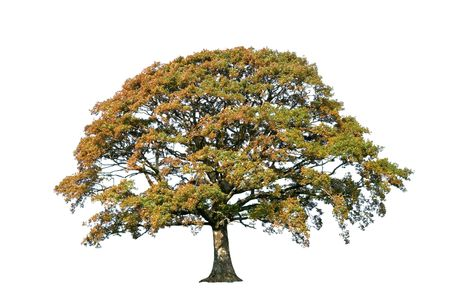 Oak tree in autumn over white background.