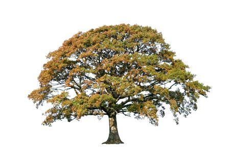 Oak tree in autumn over white background. Stock Photo - 3793032