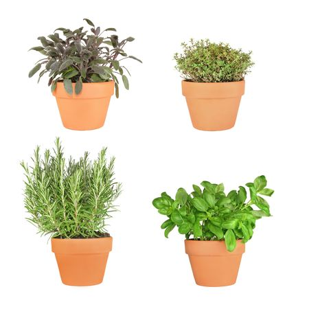 plants species: Rosemary, basil, purple sage and silver thyme herbs growing in terracotta pots over white background. From bottom right to top left.