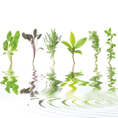 water thyme: Herb leaf selection of variegated sage, purple sage, lavender, bay, common thyme and oregano with reflection over rippled water, against white background. Left to right.