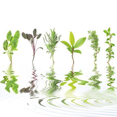 water thyme: Hierba de hoja de selecci�n de variedades de salvia, violeta salvia, lavanda, bah�a, el tomillo com�n y or�gano con la reflexi�n sobre rippled agua, contra el fondo blanco. De izquierda a derecha. Foto de archivo
