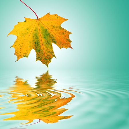 animal vein: Maple leaf in the colors of autumn with reflection over rippled water. Over turquoise background with white central glow.