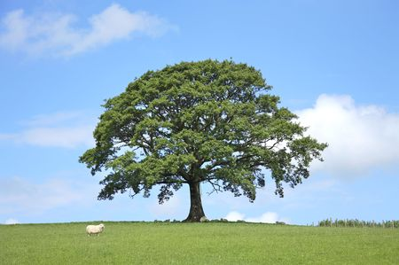 sheltering: Oak tree in full leaf in a field in Spring with sheep sheltering under the branches. Set against a blue sky with clouds.