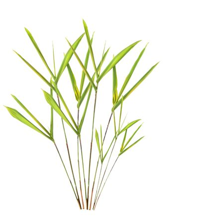 tensile: Bamboo leaf grass over white background. Stock Photo