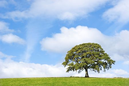 Oak tree in full leaf in summer standing in a field, set against a blue sky with clouds. Stock Photo - 3935505