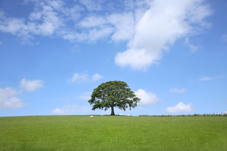 Oak tree in spring standing in a field with a blue sky and clouds to the rear. Stock Photo - 4013048