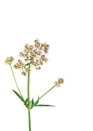Valerian flower, modern day equivalent in medicine is the drug valium.
