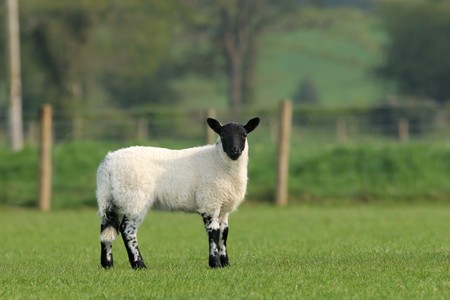 speckle: White and black speckled lamb standing in a field in Spring. Stock Photo