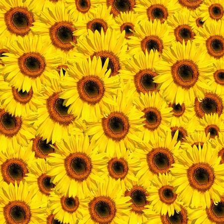 Sunflowers in full bloom in summer forming a background. Stock Photo - 4082872