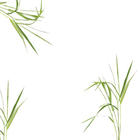 Zen abstract of bamboo leaf grass over white background. photo