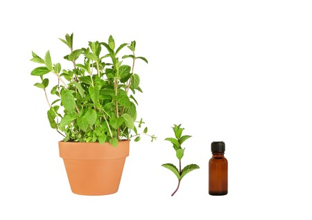 Herb mint growing in a terracotta pot with a specimen leaf sprig and an aromatherapy essential oil brown glass bottle, over white background. photo