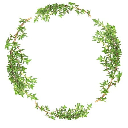 Garland of thyme herb leaf sprigs over white background. Stock Photo