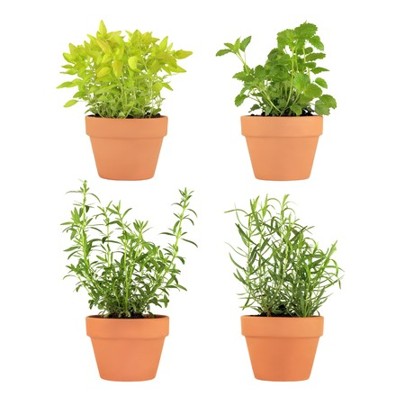 Herb selection of marjoram, lemon balm, tarragon and hyssop growing in four terracotta pots over white background. photo