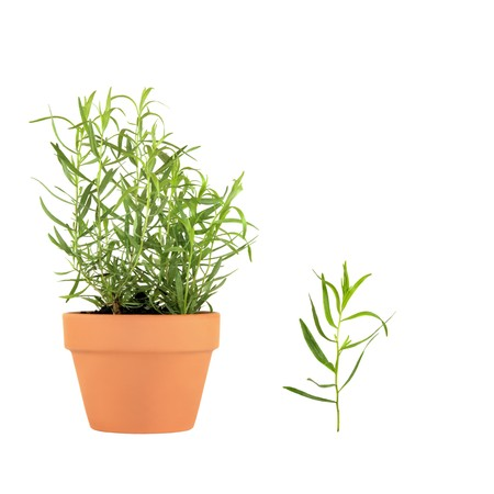 sedative: Tarragon herb growing in a terracotta pot with specimen leaf sprig, over white background. Can also be used in alternative medicine to treat toothache, digestive problems and as a sedative.
