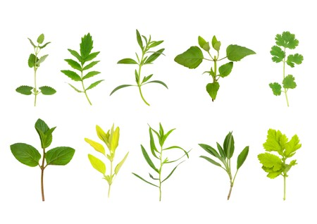 hyssop: Herb leaf selection of chocolate spearmint, golden marjoram, tarragon, sage, feverfew,catmint, valerian, hyssop, bergamont, coriander in two horizntal lines from bottom and top left. Over white background. Stock Photo